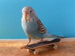 Trieste Visier Mikhailion budgie & skateboard